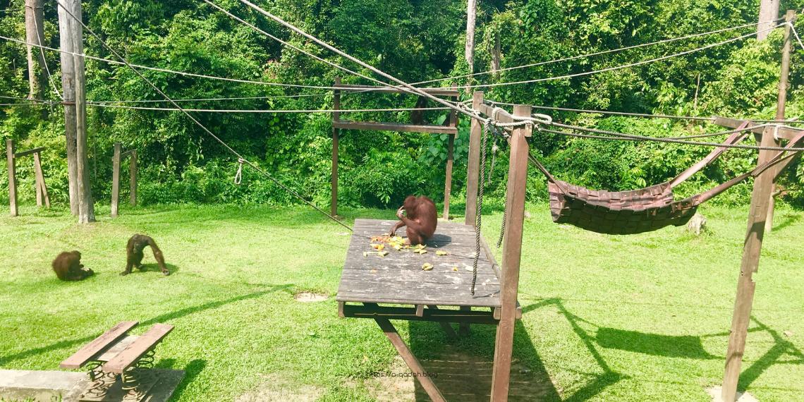 ماليزيا غابات سيبيلوك قرود أورنغ أوتان Sepilok المناطق السياحية سانداكان